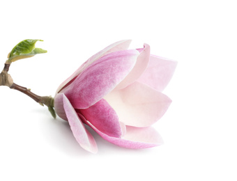 Branch with beautiful magnolia flower isolated on white. Spring blossom
