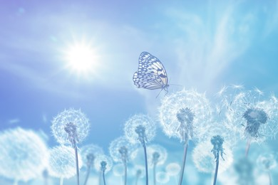 Beautiful butterfly and delicate fluffy dandelions on sunny day