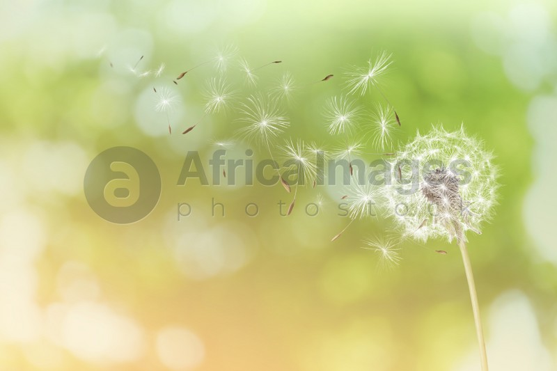 Beautiful fluffy dandelion and flying seeds outdoors on sunny day