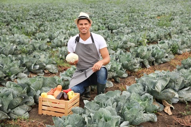 Farmer working in cabbage field. Harvesting time