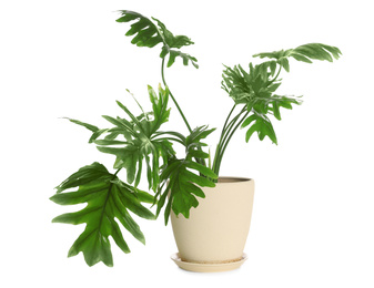Pot with Philodendron selloum plant isolated on white. Home decor
