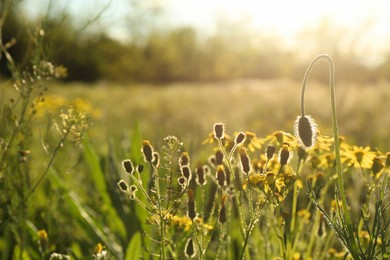 Beautiful flowers growing in meadow on sunny day, space for text