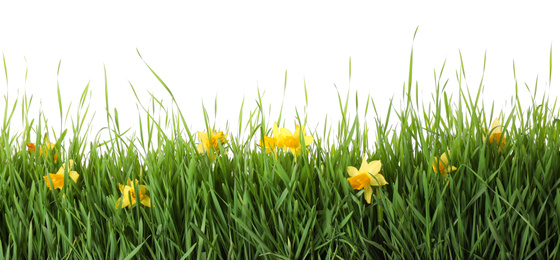 Spring green grass and bright daffodils on white background