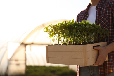Man holding wooden crate with tomato seedlings near greenhouse outdoors, closeup