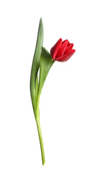 Beautiful tender spring tulip isolated on white
