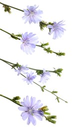 Beautiful tender chicory flowers on white background, collage. Vertical banner design