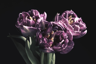 Beautiful fresh tulips on black background. Floral card design with dark vintage effect
