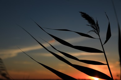 Silhouette of beautiful reed plant at sunset, closeup