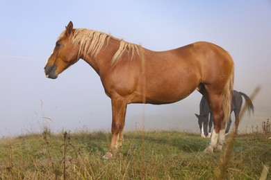 Horses grazing on pasture in misty morning. Lovely domesticated pets