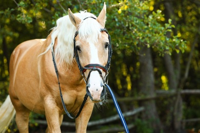 Palomino horse in bridle outdoors on sunny day