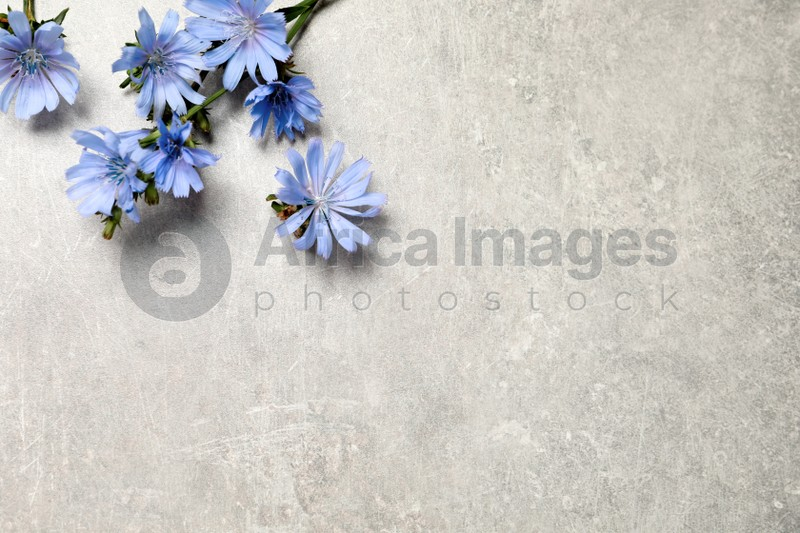 Beautiful chicory flowers on light grey background, flat lay. Space for text