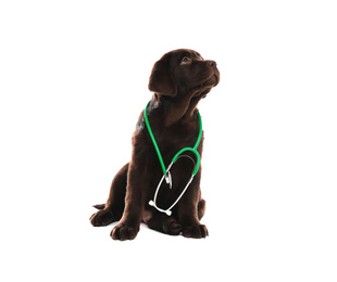 Cute Labrador dog with stethoscope as veterinarian on white background