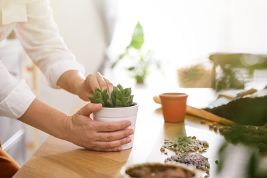 Woman with succulent plant at home, closeup. Engaging hobby