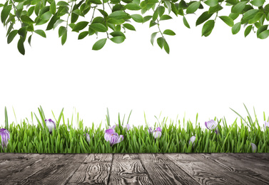 Wooden surface, green leaves and fresh grass with spring flowers on white background