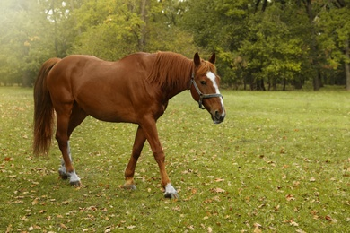 Horse with bridle in park on autumn day