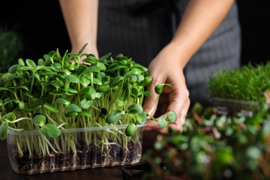 Woman taking care of microgreen at wooden table, closeup