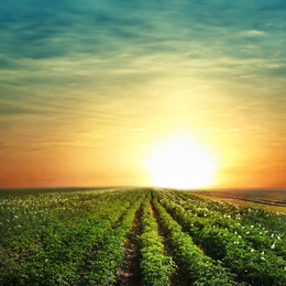 Picturesque view of blooming potato field at sunset. Organic farming