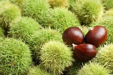 Many fresh sweet edible chestnuts as background, closeup