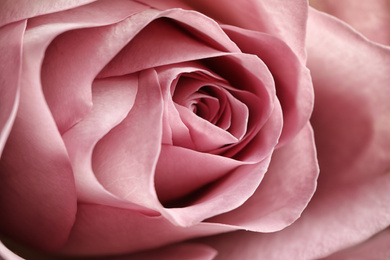Closeup view of beautiful blooming rose as background. Floral decor