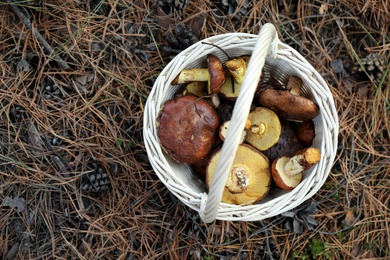 Wicker basket with fresh wild mushrooms in forest, top view