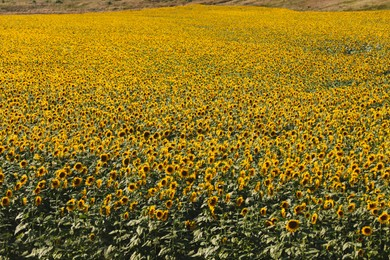 Beautiful view of field with yellow sunflowers
