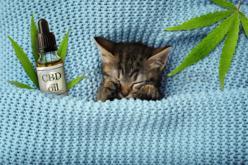 Bottle of CBD oil and cute kitten sleeping wrapped in blue knitted blanket, top view
