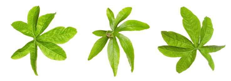 Set with Passiflora plant (passion fruit) leaves on white background. Banner design