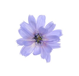 Beautiful tender chicory flower isolated on white