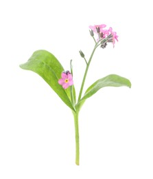 Beautiful pink Forget-me-not flowers isolated on white