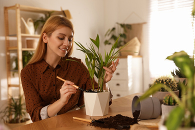 Young woman potting beautiful plant at home. Engaging hobby