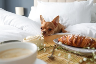 Tray with tasty breakfast and cute Chihuahua dog on bed in room. Pet friendly hotel