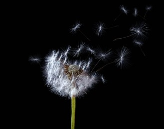 Beautiful puffy dandelion blowball and flying seeds on black background