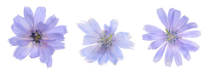 Beautiful tender chicory flowers on white background, collage. Banner design