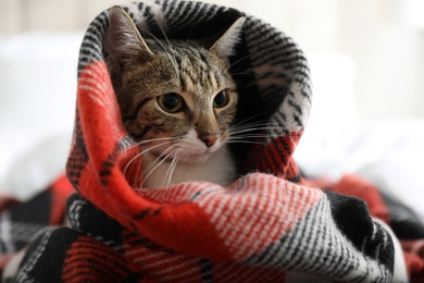 Adorable cat under plaid on bed at home, closeup