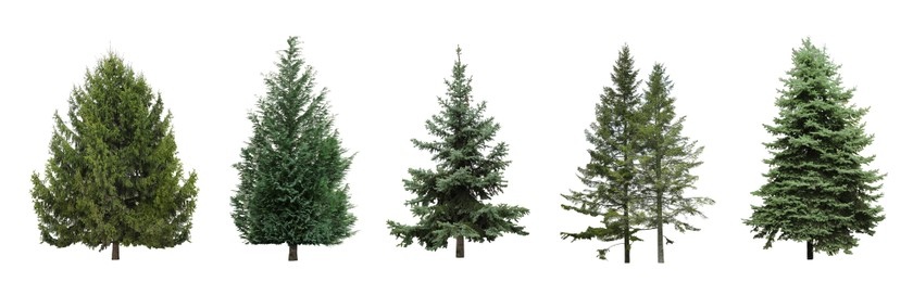 Beautiful evergreen fir trees on white background, collage. Banner design