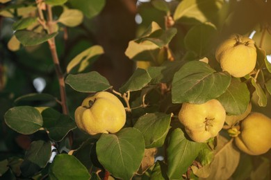 Quince tree branch with fruits outdoors, closeup