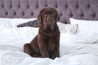 Cute Labrador retriever puppy on bed at home. Friendly dog