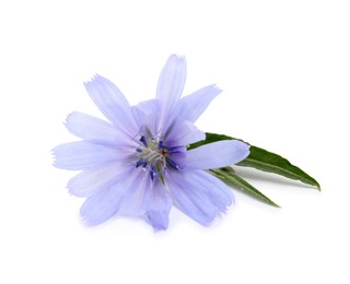 Beautiful chicory flower with green leaves on white background