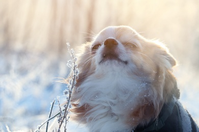 Cute little dog outdoors on winter morning. Snowy weather