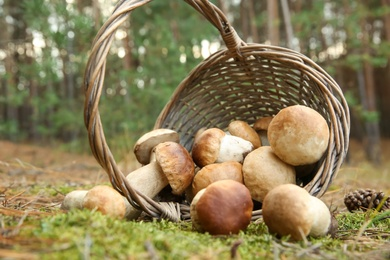 Scattered porcini mushrooms and basket in forest, closeup