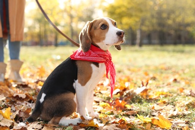 Woman walking her cute Beagle dog in park on autumn day