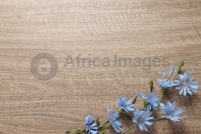 Beautiful chicory flowers on wooden background, top view. Space for text