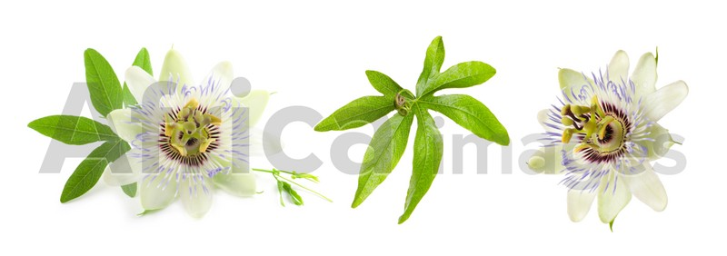 Set with Passiflora plant (passion fruit) flowers and leaves on white background. Banner design