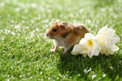 Cute little hamster near flowers on green grass outdoors, space for text