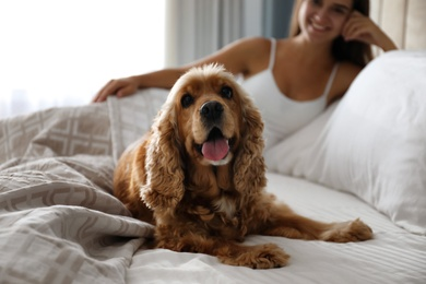 Cute English Cocker Spaniel near owner on bed indoors. Pet friendly hotel