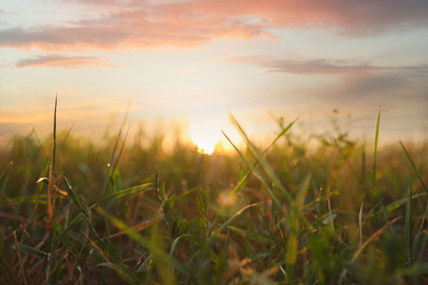 Green grass in field at sunrise. Early morning landscape