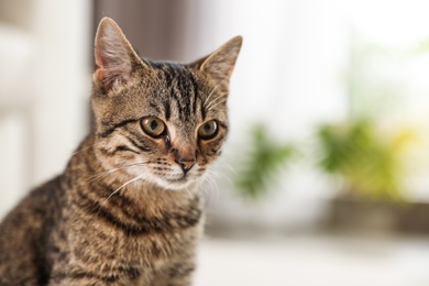 Cute tabby cat at home, space for text. Lovely pet