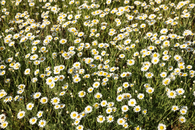 Beautiful chamomile field on sunny spring day
