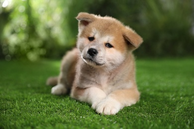 Adorable Akita Inu puppy on green grass outdoors