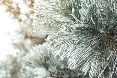 Frosty pine branch with cone on blurred background, closeup. Winter season